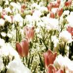 elements of nature: tulips