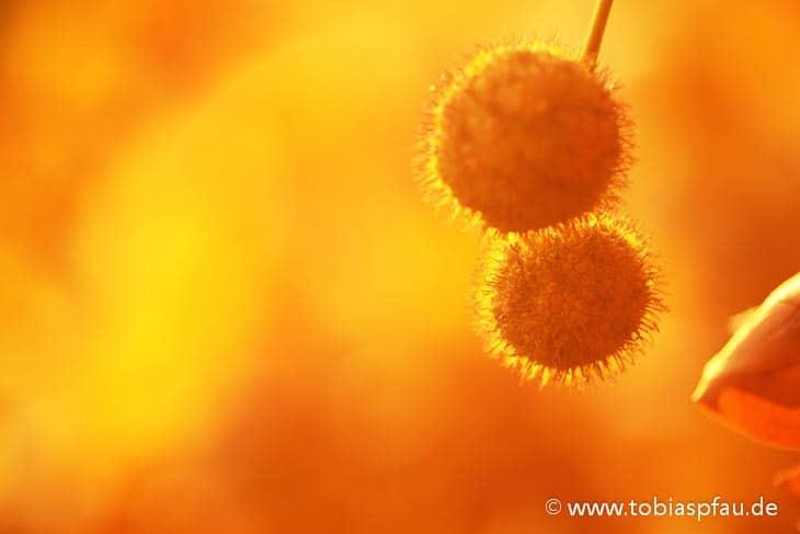 wpid6584 IMG 8493Frucht der Platane im Herbstlicht