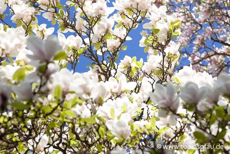 wpid6761 IMG 0269spring blooms