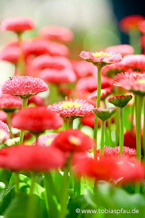 wpid7608 IMG 9461red chrysanthemums