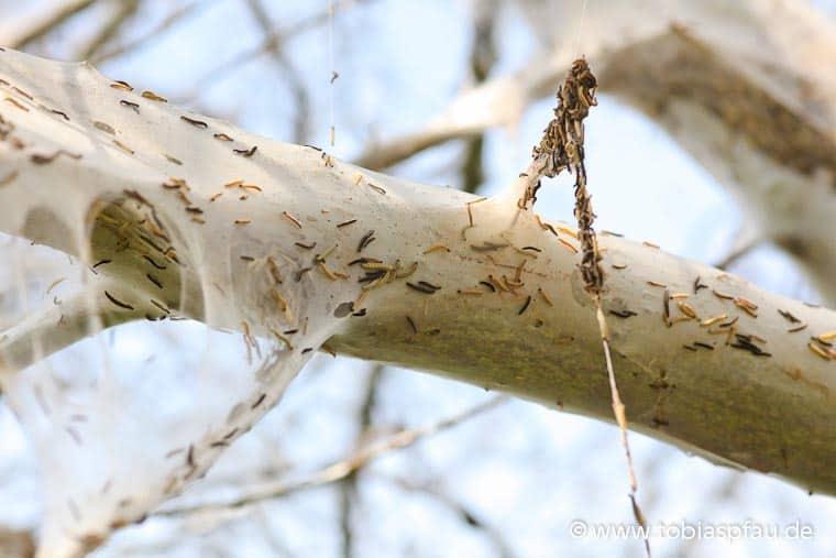 wpid7700 IMG 5018Raupen spinnen Baum ein