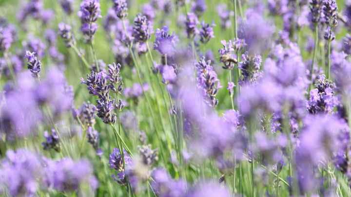 Lavendel Biene