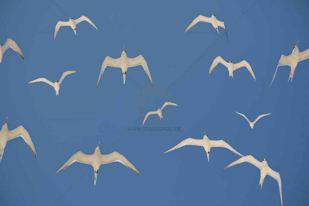 tpfau IMG 5706 seagulls