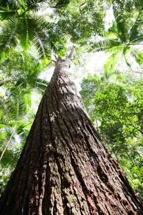 tpfau IMG 9024 Big Tree Tropical Forest on Fraser Island