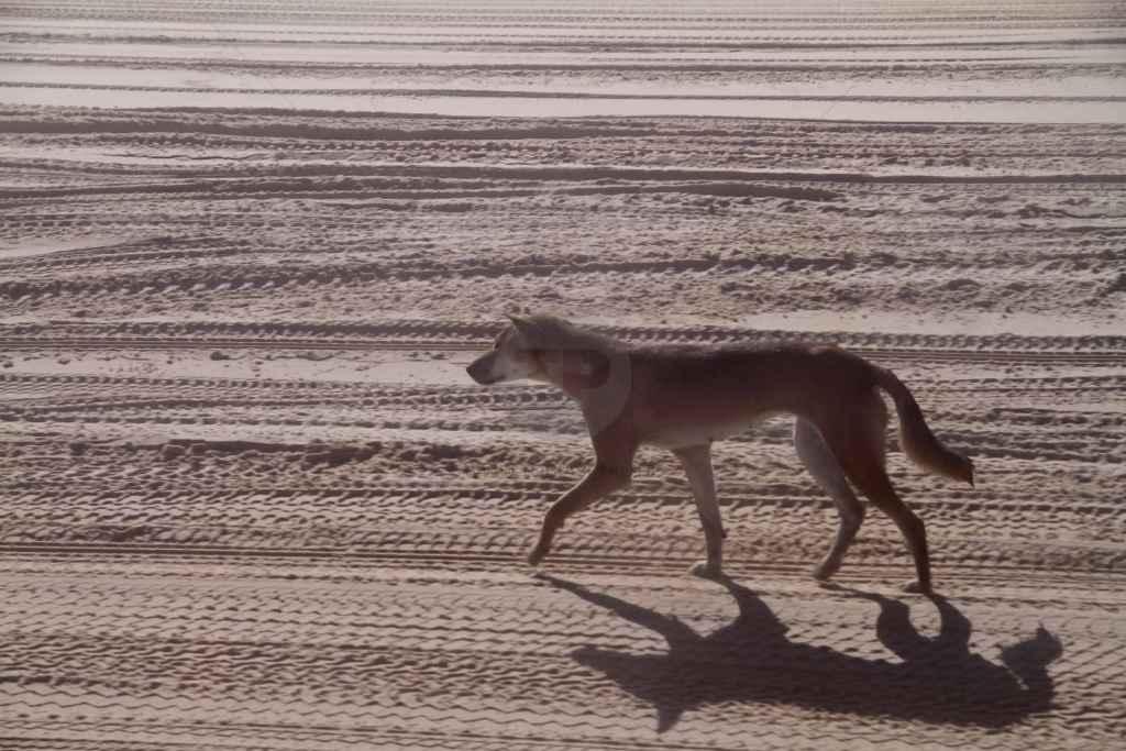 tpfau IMG 9994 Fraser Island Dingo