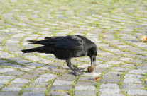 Rabe – Crow beim spielen / essen