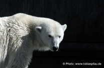 Eisbär – im Stuttgart  Zoo Wilhelma / zool. ice bear