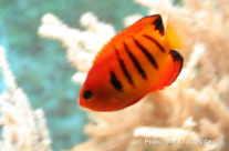 Anemone Fisch