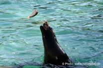 Seelöwe beim spielen