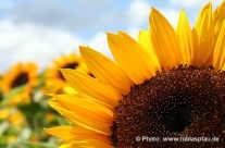 Sonnenblumen Felder
