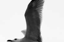 Möwe im Flug – Fliegende Möve