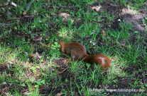 Eichhörnchen sucht nach Nüsse / Squirrel looking for nutts