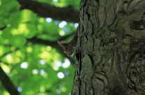 Eichhörnchen auf dem Baum / c