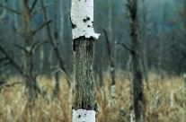 toter Baum im Moor