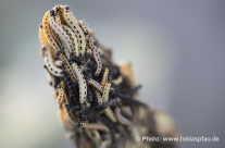 Spinner, Gespinstmotten – Raupen