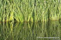 Wasserspiegelung Schilfgras