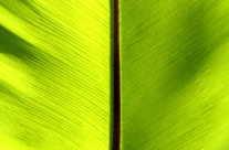 Mangroven Blatt