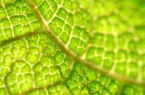 Leuchtendes Blatt – Zellstruktur