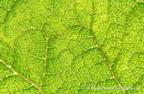 Netzförmige Blattadern – mit durchscheinenden Sonnenlicht
