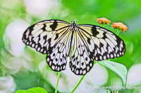 Butterfly (zool