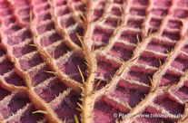 Teichrosen Blatt – von unten