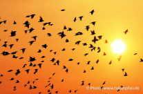 Zugvögel Mitteleuropa