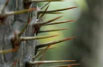 Kaktusdornen
