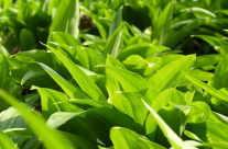 Bärlauch (Allium Ursinum) auch Bährlauch