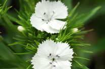 Gartenpflanze