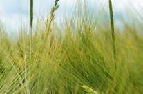 Weizen-Felder