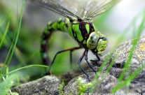Libelle à la pierre