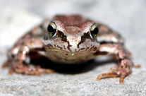 Laub Frosch