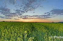 Landwirtschaft, Rapsfeld im Frühling – Panorama