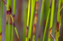 green reed