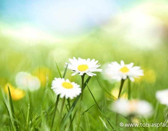 Daisies – Spring Flower