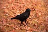 Crow – Krähe