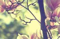 Spring – Magnolias