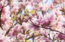 Frühling – Magnolien