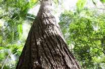Big Tree – Tropical Forest on Fraser Island