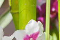 Bamboo – white orchid