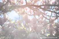 erste Magnolien – Im Frühling
