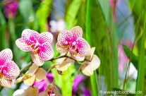 pastell Orchidee