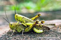 Locusts – Heuschrecken