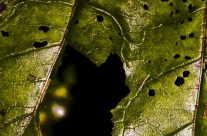 Verwelkte und angefressene Blätter
