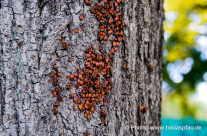 Feuerwanzen (Pyrrhocoridae auf Ihrem Baumstamm