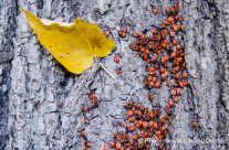 Feuerwanze – rote Käfer am Baumstamm
