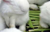 Kaninchen zum Essen (Esshasen