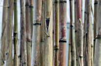 alte Bambusrohre / Stange