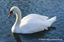 Der weise Schwan/ White Swan
